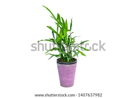Philodendron (Philodendron xanadu Croat, Mayo & J.Boos) in modern vase. isolated on white background #1407637982