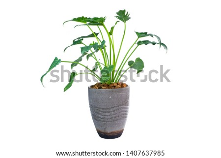 Philodendron (Philodendron xanadu Croat, Mayo & J.Boos) in modern vase. isolated on white background #1407637985
