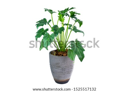 Philodendron (Philodendron xanadu Croat, Mayo & J.Boos) in modern vase. isolated on white background #1525517132