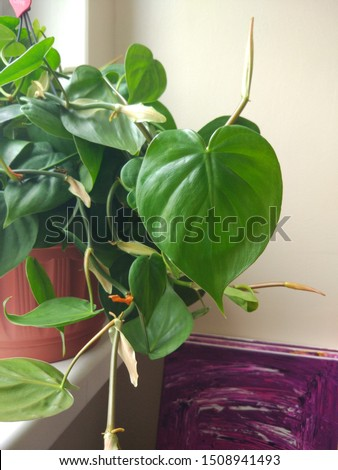 Philodendron scandens or Heartleaf philodendron. Houseplant for home decoration #1508941493