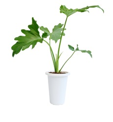 Philodendron selloum botanical tropical house plant in modern white pot isolated on white background with clipping path,exotic heart shape leave plant for interior