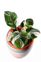 Philodendron White Knight Aroid Urban Plants