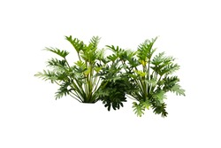 Philodendron xanadu Tropical nature plant isolated backdrop include clipping path on white background.closeup spring botanic decoration floral rain forest plant.