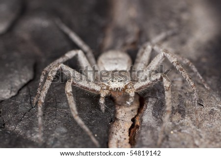 Philodromus spider camouflaged on wood