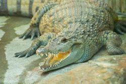 Philppine Crocodile with mouth open