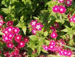 Phlox drummondii 'Twinkle Star' blooming in the garden