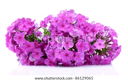 phlox flower isolated on white