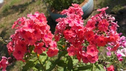 Phlox flowers, a soft crimson color, in the garden.