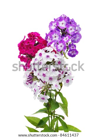 Phlox flowers isolated on white background