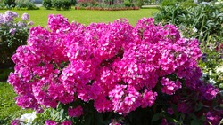 Phlox paniculata. Beautiful pink flowers in garden. Bright purple background. Gardening. Flowerbed in front or back Yard. Beauty in nature. Summer. Bright bush. Flowering plant. Polemoniaceae family.