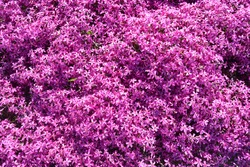 Phlox, purple spring flowers texture background