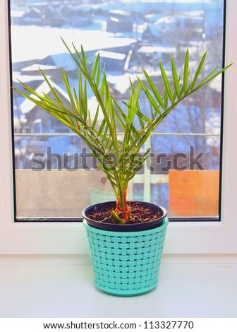 Phoenix canariensis. Cultivation of a date palm tree on a window sill