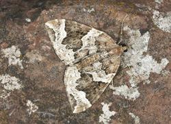 Phoenix moth, Eulithis prunata camouflaged on rock
