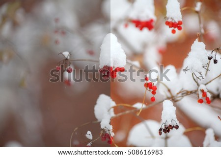 Photo before and after the image editing process. Red berries covered with snow, winter scene