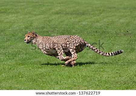 Photo cheetah running across the grass while running rips up pieces of grass