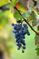 Photo closeup of beautiful heavy ripen bunch of velvety black grapes sweet juicy fruit hanging on grapevine green and red leaves vine on blurred background, vertical picture