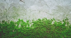 Photo depicting a bright green moss on an old stone wall. Closeup. Slovenia, Ljubljana city, Castle area.