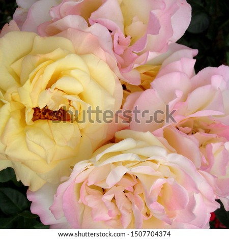 Photo flower bud of a pink and yellow rose. Rosebud opened. Beauty yellow Rose with lush petals. Rose growing in garden.