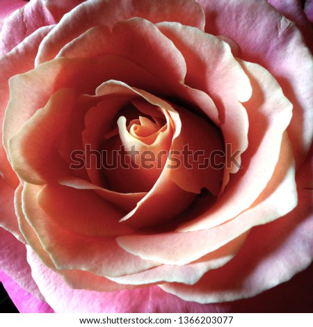Photo flower bud of a pink rose. Rosebud opened. Rose with lush petals. #1366203077