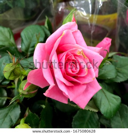 photo flower bud of a pink rose. Rosebud opened. Rose with lush petals.