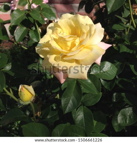 Photo flower bud of a pyellow rose. Rosebud opened. Beauty yellow Rose with lush petals. Rose growing in garden.