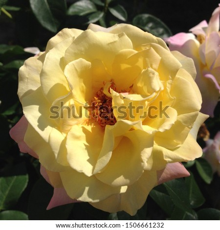 Photo flower bud of a yellow rose. Rosebud opened. Beauty yellow Rose with lush petals. Rose growing in garden.