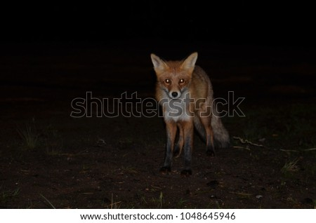 photo foxes at night in good quality and focus