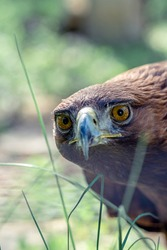 Photo Golden eagle, portrait of a bird. Keeping birds of prey in captivity.