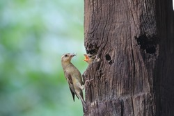 Photo hen pecking insects feeding baby birds calling for food in the nest. Situated in a tree.