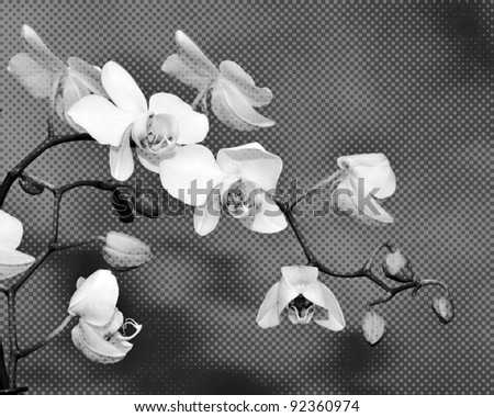 photo illustration of white orchid flowers in black and white halftone
