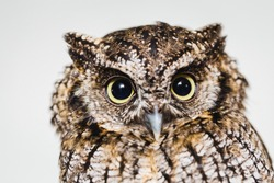 photo in macro and high resolution of an owl, baby owl in high quality, raptor, owl is a beautiful night bird