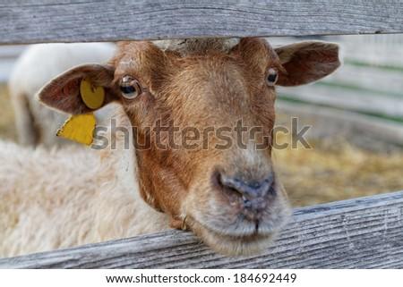 Photo lot of sheep on the farm