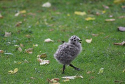 Photo of a baby seagull bird fledgling