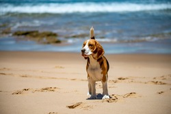 Photo of a Beagle playing on the beach
