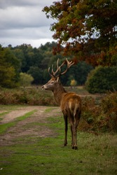 Photo of a beautiful and strong male deer during rutting season in the nature in Richmond park, London