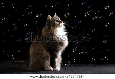 photo of a beautiful Siberian cat among flying soap bubbles on a black background