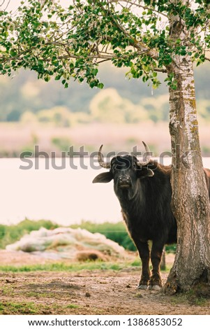 Photo of a big buffalo