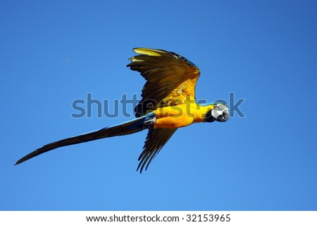 photo of a Blue-and-yellow Macaw - stock photo