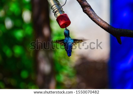 Photo of a blue hummingbird drinking nectar
