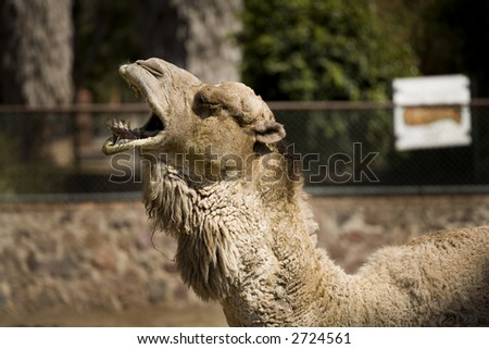 Photo of a camel posing for the camera.