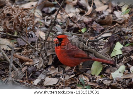 Photo of a Cardinal in the fall, standing on top of dead leaves.
