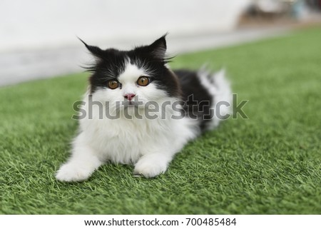 photo of a cat on a green grass.Combined breeds of domestic long hair with high nose flat face