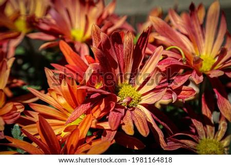 Photo of a chrysanthemum flower   - Photo d'une fleur de chrysantème Photo stock ©
