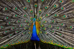 Photo of a colorful peacock