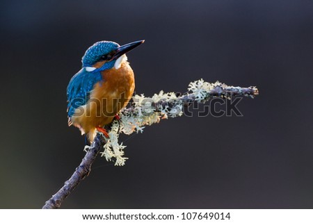 Photo of a Common Kingfisher (Alcedo atthis) adult male perched on a lichen covered branch