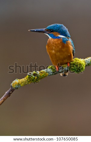 Photo of a common Kingfisher Alcedo atthis adult male perched on a moss covered branch