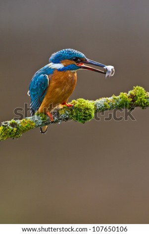 Photo of a Common Kingfisher (Alcedo atthis) adult male perched with a minnow in its beak