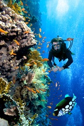 Photo of a coral colony and diver,  Red Sea.