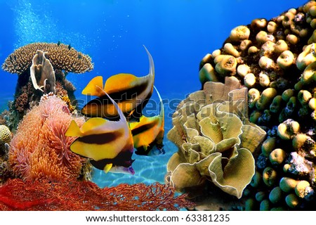 Photo of a coral colony and Pennant coralfish (bannerfish)