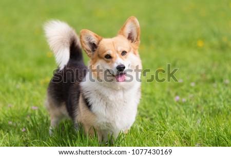Photo of a corgi dog. Dog portrait